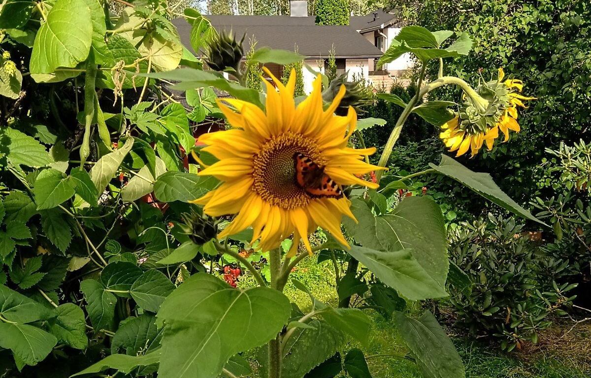 Perhonen auringonkukassa